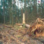 wyrwane-drzewo