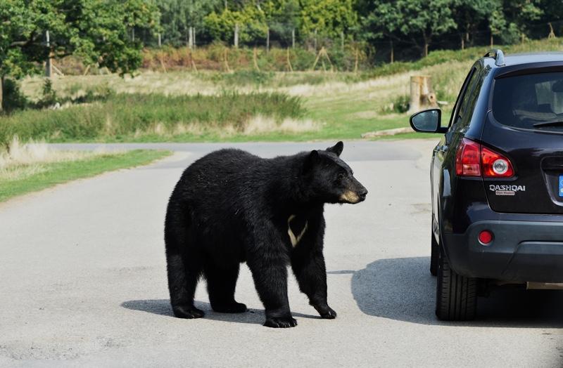 Kolizja trzech aut. Niedźwiedź wtargnął na jezdnię