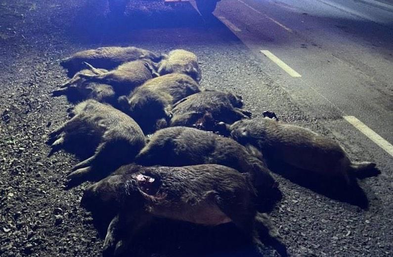Stado dzików wtargnęło na jezdnię! 10 poniosło śmierć